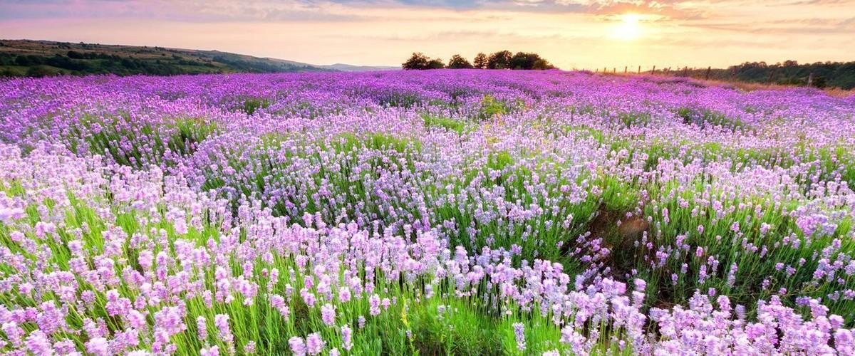 Лавандовые поля в Крыму: где найти и когда ехать